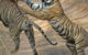 LetsTalkTigers - Wildlife Conservation Trust