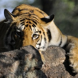 Save Our Tigers Campaign - Wildlife Conservation Trust