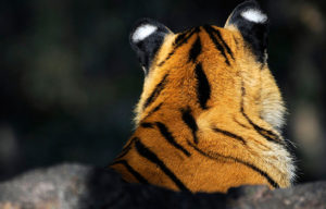 Save Our Tigers - Supported NGOs - Satpuda Foundation - WCT