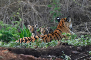 Protecting corridors key to increasing tiger numbers-WCT