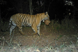 Tiger Estimation outside PAs in Maharashtra-WCT-Media