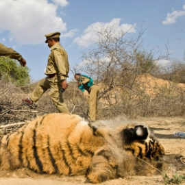 Law Enforcement - The Weak Link in Big Cat Protection - WCT