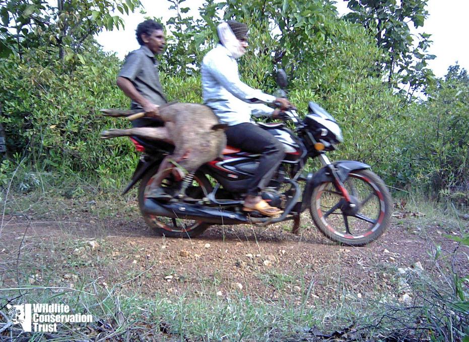 Wildlife Week - Unfair Game – Big Cats Lose Prey to Bushmeat Hunters-WCT