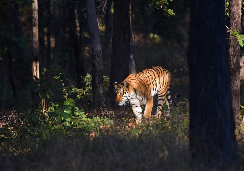 WCT's Conservation Behaviour team has been applying AI in several conservation projects. One such project, which is a promising collaboration between WCT and Google Research India's AI Lab, involves designing AI models that will help predict human-wildlife interactions in the state of Maharashtra in central India.