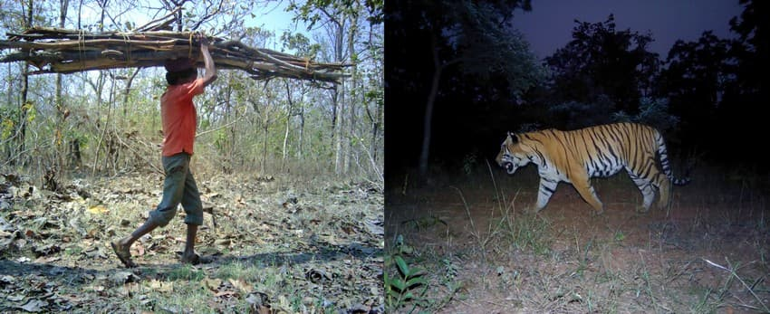 A local collecting fuelwood from the forest (left) and a tiger (right) caught on WCT's camera traps in the Brahmpauri Forest Division, Chandrapur district, Maharashtra. Human-tiger conflict is an escalating problem in this region.