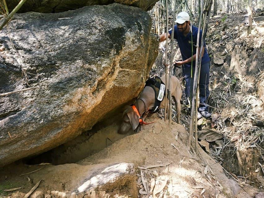 A conservation dog indicates an active pangolin burrow.