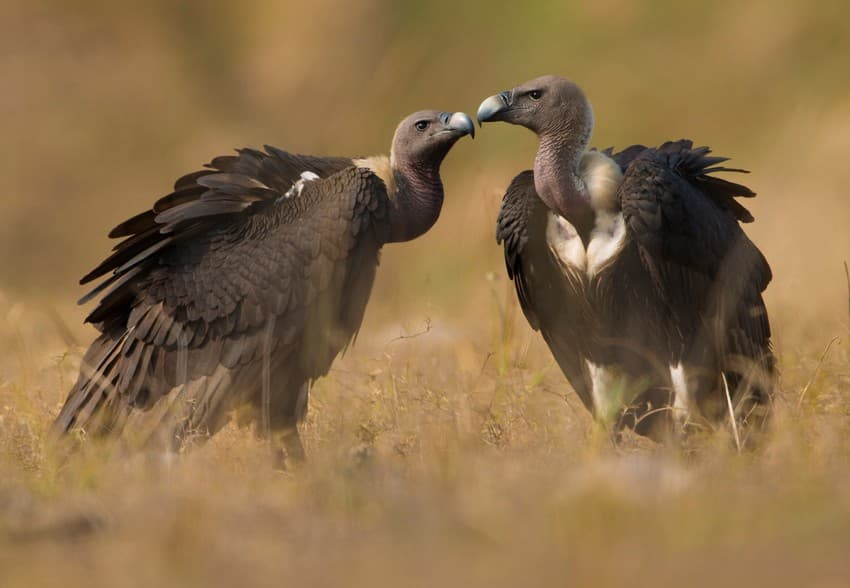White-rumped Vultures nearly went extinct in India in the 1990s due to the consumption of the toxic Diclofenac drug traces in the cattle carcasses they scavenged on.