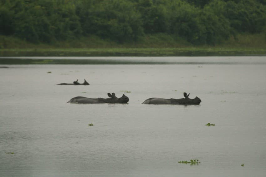 Greater one-horned rhinos caught in a flood in Kaziranga National Park seek high ground in the Karbi-Anglong Hills to the south of the park.