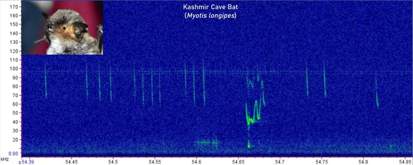 This spectrogram of a Kashmir Cave Bat recording shows a social call - a call that this bat is using to communicate with its peers (unfortunately, we don't know the exact context behind the call). But, there's something else worth appreciating in the spectrogram. Do you see that the call looks 'dotted'? That's because this bat hunts over water, so the sound first bounces off the ripples and then reaches the detector!