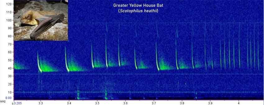 """The above spectrogram of a greater yellow house bat recording shows what is called a """"feeding buzz"""". When the bat tries to hunt an insect, it first calls slowly emitting sound out in all directions. Upon locating an insect prey, it increases the speed at which it calls and that creates a buzz."""